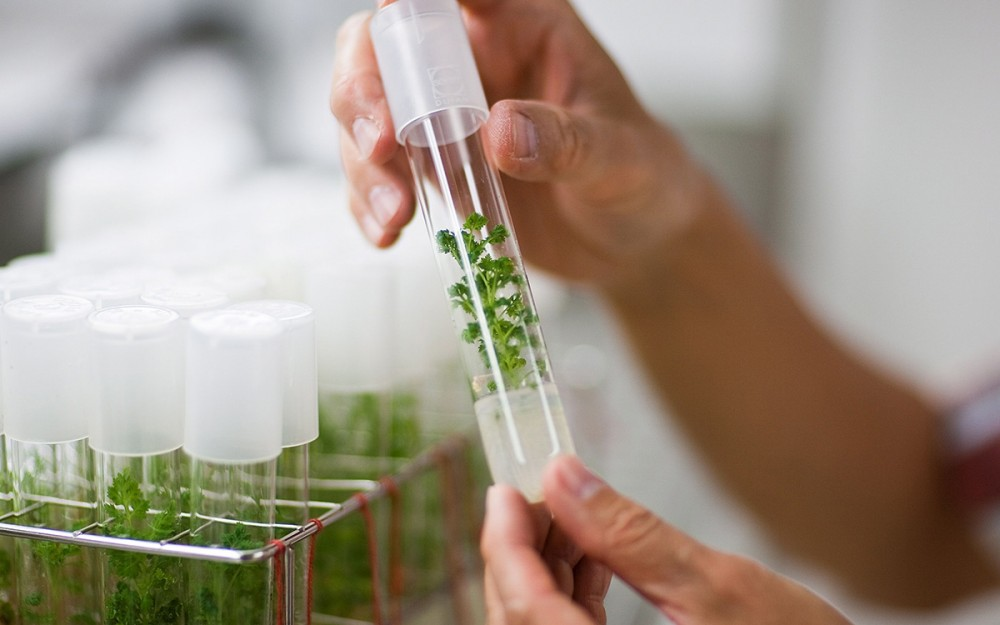 In laboratories, the plant's active ingredient, artemisinin, is extracted from the plant and chemically modified into arthemether