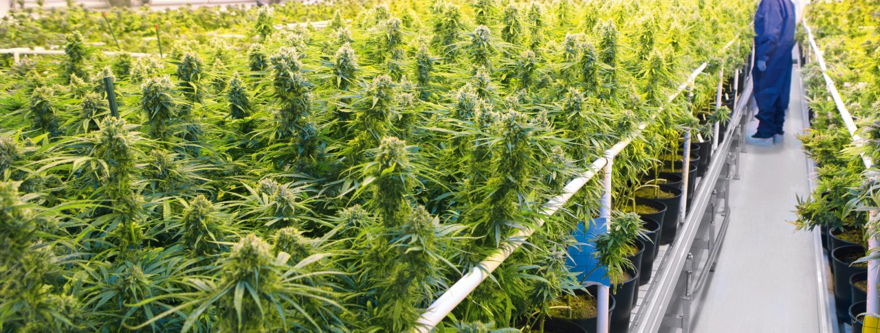 Why medical cannabis should be used only in extreme cases