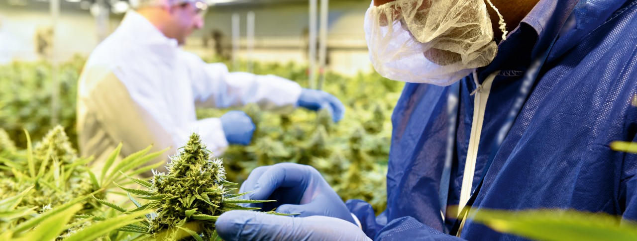 Image result for medical cannabis image